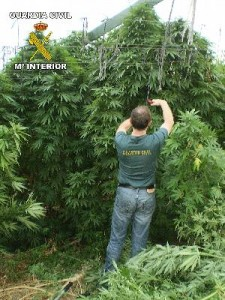 foto-cannabis-225x300